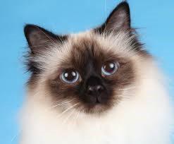 Kissojen ortopediset ongelmat - Koirakissaklinikka