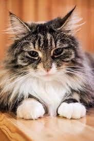 Suomen söpöin kissa 2017: Tilkku viettää kissanpäiviä maitotilalla   Apu